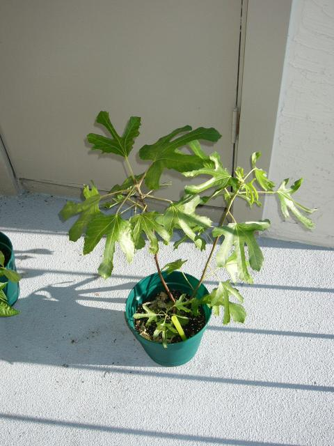 Petite Black Fig (Ficus Petite Negra Dwarf) received from Park Seed on 7/14/2005.  When I first got this tree, it was literally