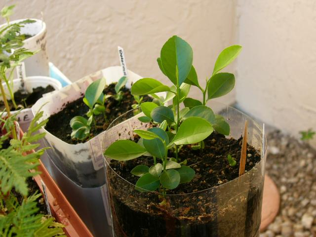 5/18/06 - Key lime (right) and tangerine (behind the key lime container on the left) seedlings in homemade self watering pots